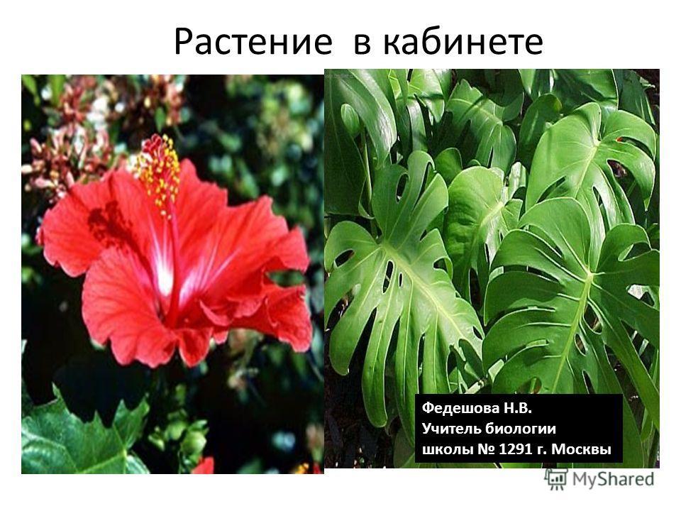Растение в кабинете Федешова Н.В. Учитель биологии школы 1291 г. Москвы