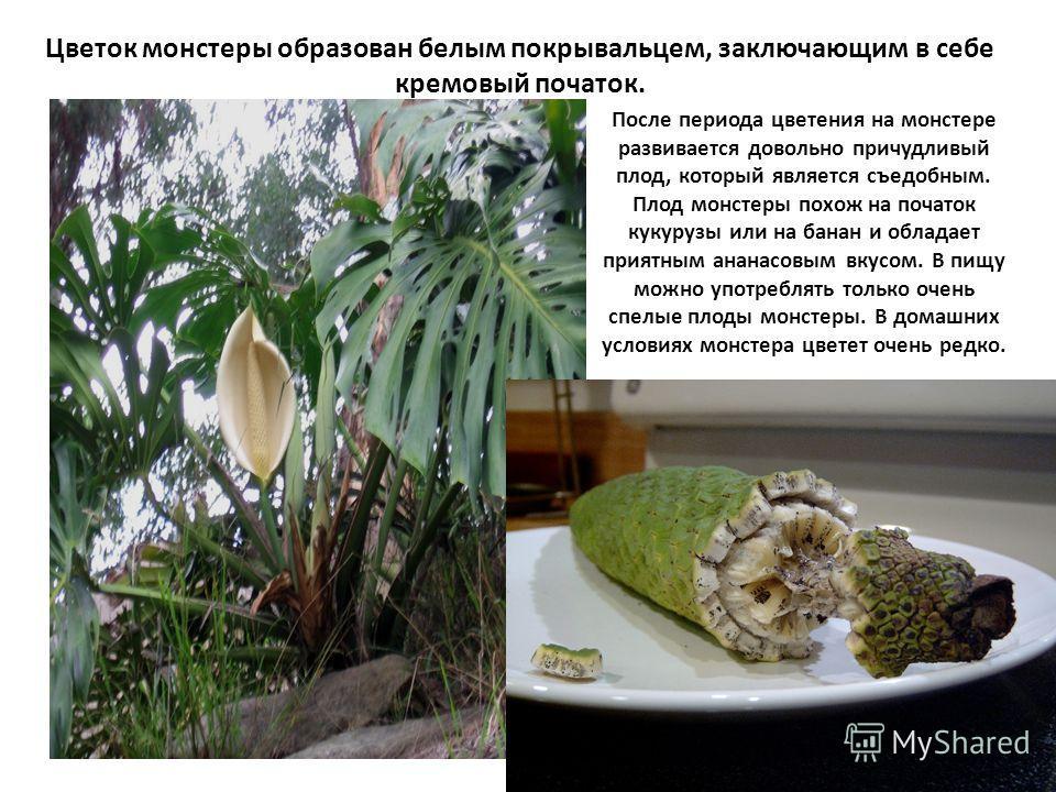 После периода цветения на монстере развивается довольно причудливый плод, который является съедобным. Плод монстеры похож на початок кукурузы или на банан и обладает приятным ананасовым вкусом. В пищу можно употреблять только очень спелые плоды монст