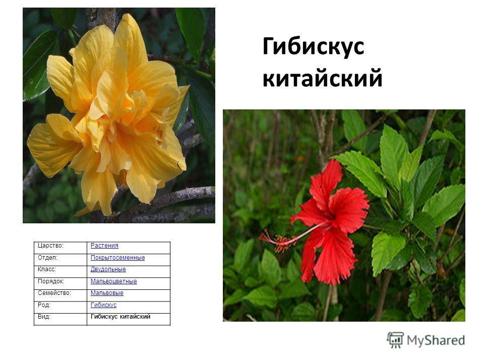 Царство:Растения Отдел:Покрытосеменные Класс:Двудольные Порядок:Мальвоцветные Семейство:Мальвовые Род:Гибискус Вид:Гибискус китайский