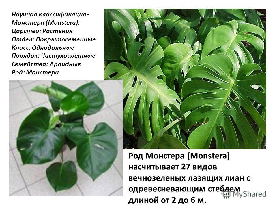 Научная классификация - Монстера (Monstera): Царство: Растения Отдел: Покрытосеменные Класс: Однодольные Порядок: Частухоцветные Семейство: Ароидные Род: Монстера Род Монстера (Monstera) насчитывает 27 видов вечнозеленых лазящих лиан с одревесневающи