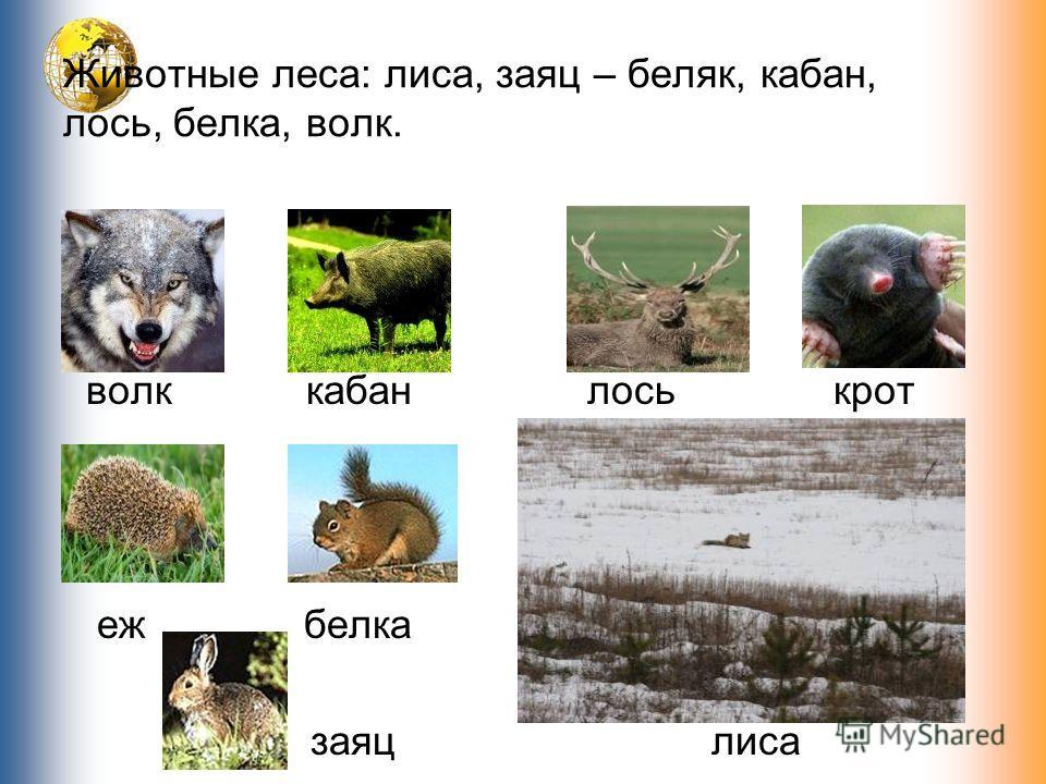 Животные леса: лиса, заяц – беляк, кабан, лось, белка, волк. волк кабан еж белка заяц лось крот лиса