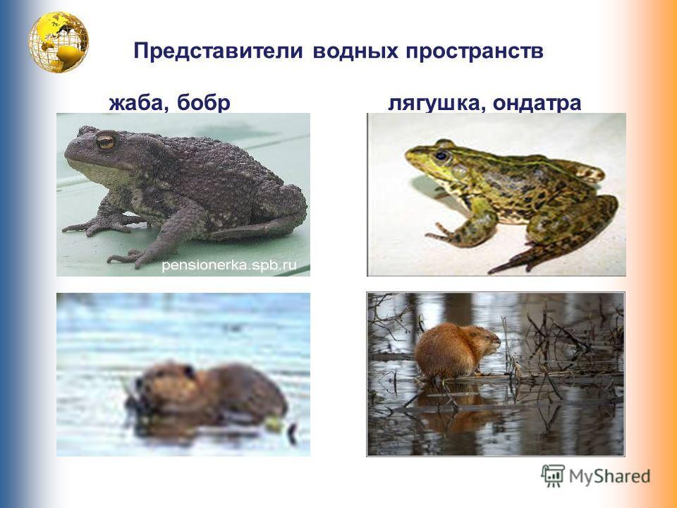 Представители водных пространств жаба, бобр лягушка, ондатра