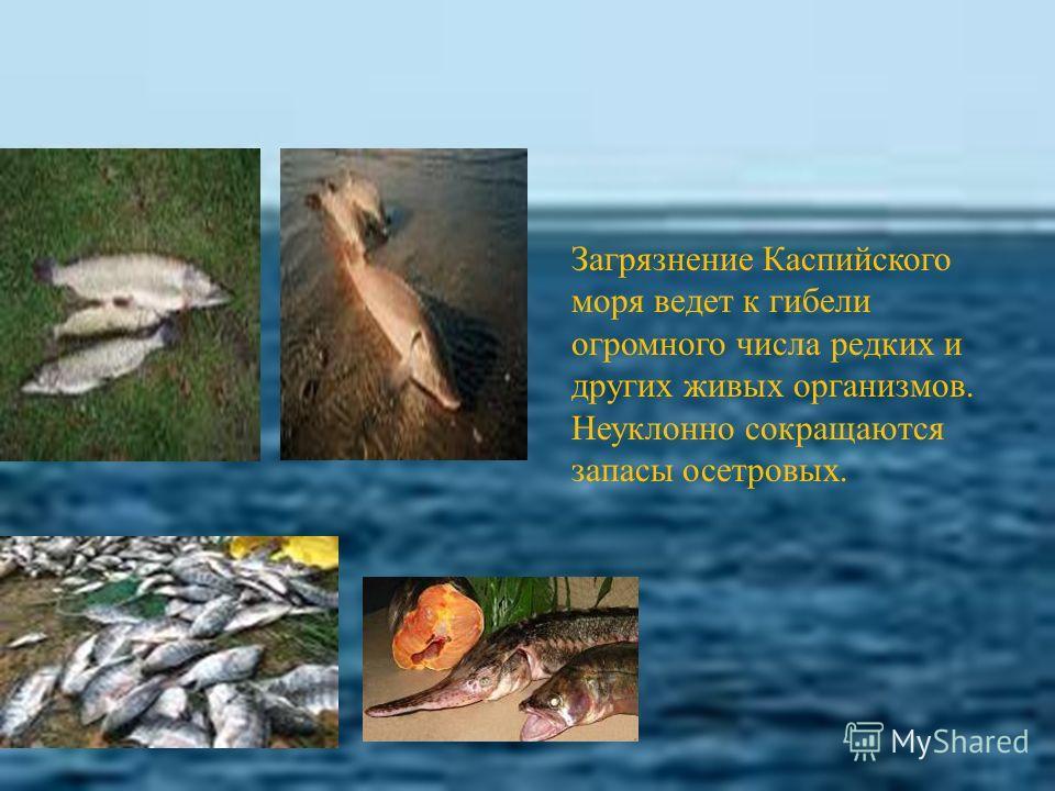 Загрязнение Каспийского моря ведет к гибели огромного числа редких и других живых организмов. Неуклонно сокращаются запасы осетровых.