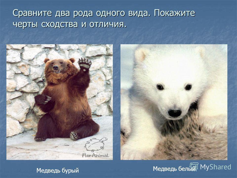 Сравните два рода одного вида. Покажите черты сходства и отличия. Медведь белый Медведь бурый