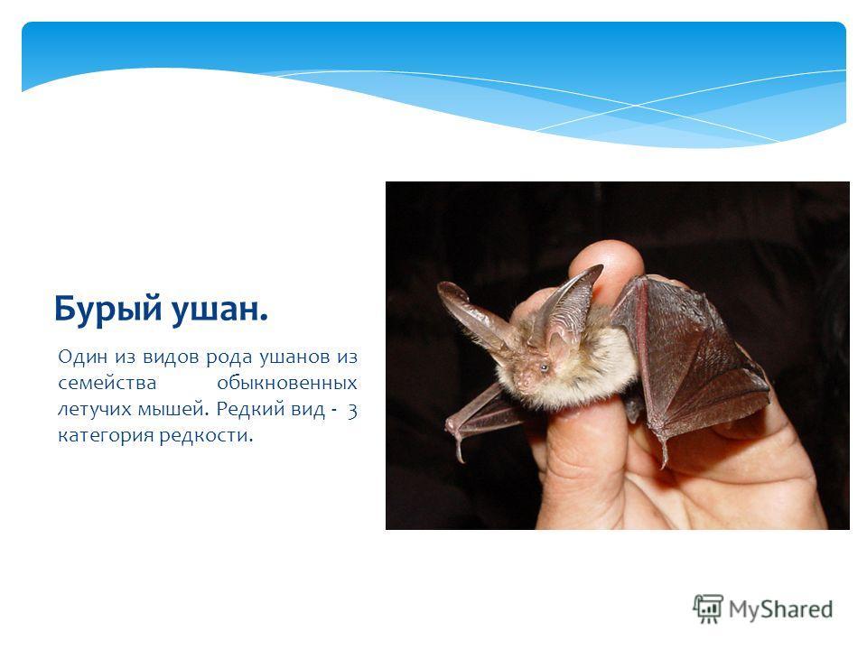 Один из видов рода ушанов из семейства обыкновенных летучих мышей. Редкий вид - 3 категория редкости. Бурый ушан.