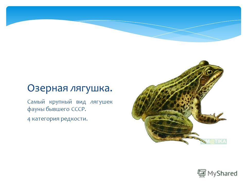 Самый крупный вид лягушек фауны бывшего СССР. 4 категория редкости. Озерная лягушка.