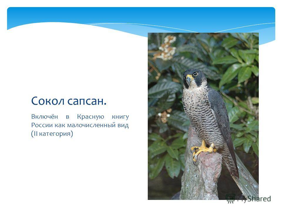 Включён в Красную книгу России как малочисленный вид (II категория) Сокол сапсан.