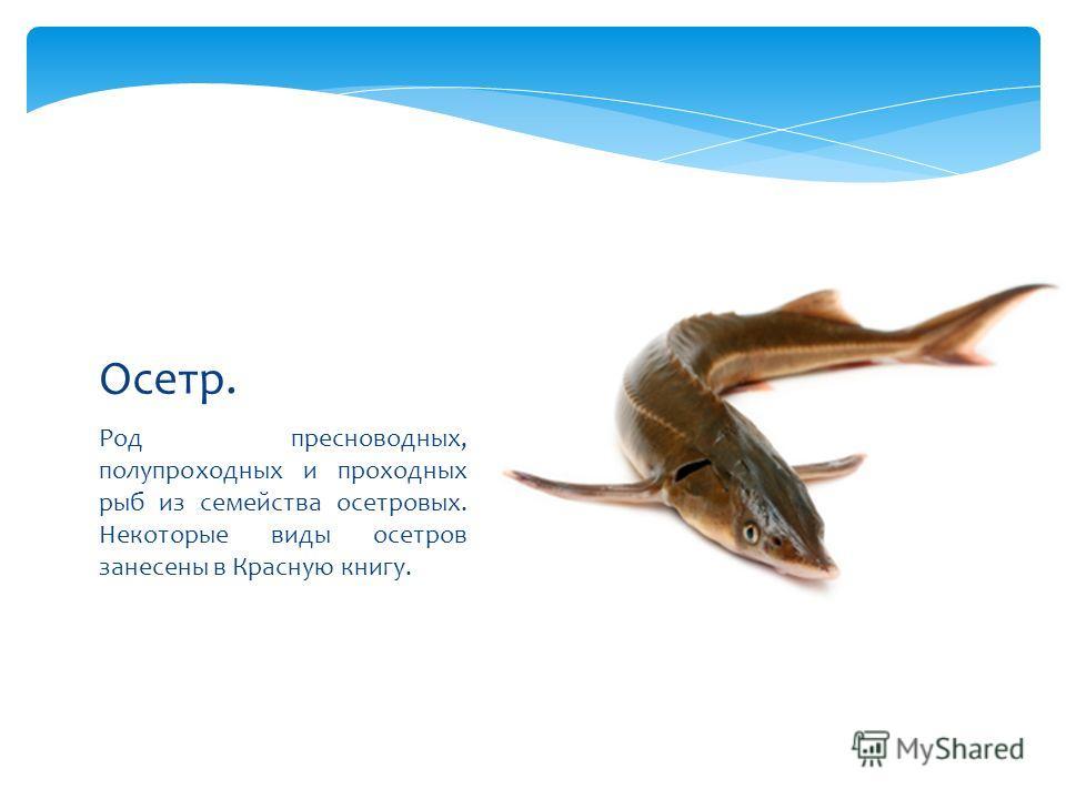 Род пресноводных, полупроходных и проходных рыб из семейства осетровых. Некоторые виды осетров занесены в Красную книгу. Осетр.