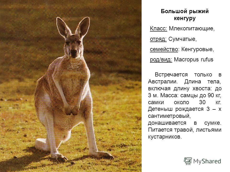 Большой рыжий кенгуру Класс: Млекопитающие, отряд: Сумчатые, семейство: Кенгуровые, род/вид: Macropus rufus Встречается только в Австралии. Длина тела, включая длину хвоста: до 3 м. Масса: самцы до 90 кг, самки около 30 кг. Детеныш рождается 3 – х са