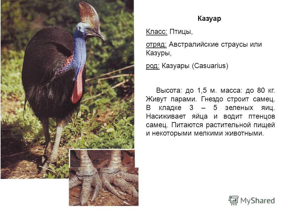 Казуар Класс: Птицы, отряд: Австралийские страусы или Казуры, род: Казуары (Casuarius) Высота: до 1,5 м. масса: до 80 кг. Живут парами. Гнездо строит самец. В кладке 3 – 5 зеленых яиц. Насиживает яйца и водит птенцов самец. Питаются растительной пище