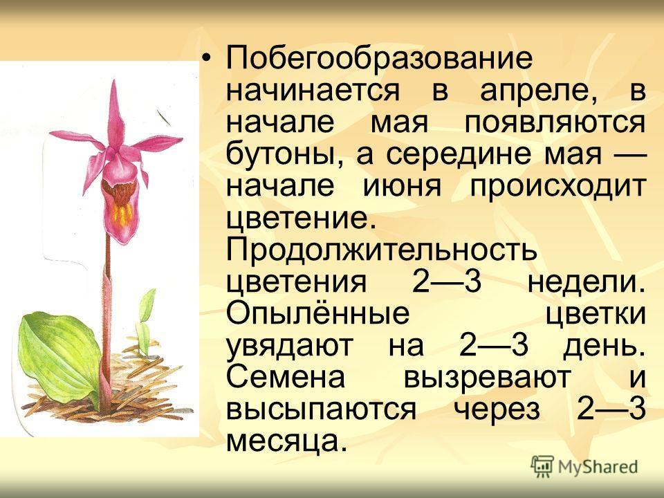 Побегообразование начинается в апреле, в начале мая появляются бутоны, а середине мая начале июня происходит цветение. Продолжительность цветения 23 недели. Опылённые цветки увядают на 23 день. Семена вызревают и высыпаются через 23 месяца.
