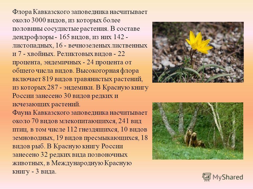 Флора Кавказского заповедника насчитывает около 3000 видов, из которых более половины сосудистые растения. В составе дендрофлоры - 165 видов, из них 142 - листопадных, 16 - вечнозеленых лиственных и 7 - хвойных. Реликтовых видов - 22 процента, эндеми