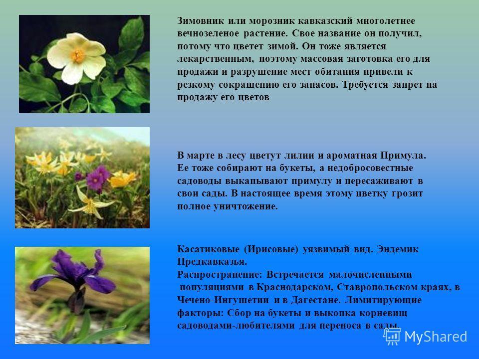 Зимовник или морозник кавказский многолетнее вечнозеленое растение. Свое название он получил, потому что цветет зимой. Он тоже является лекарственным, поэтому массовая заготовка его для продажи и разрушение мест обитания привели к резкому сокращению