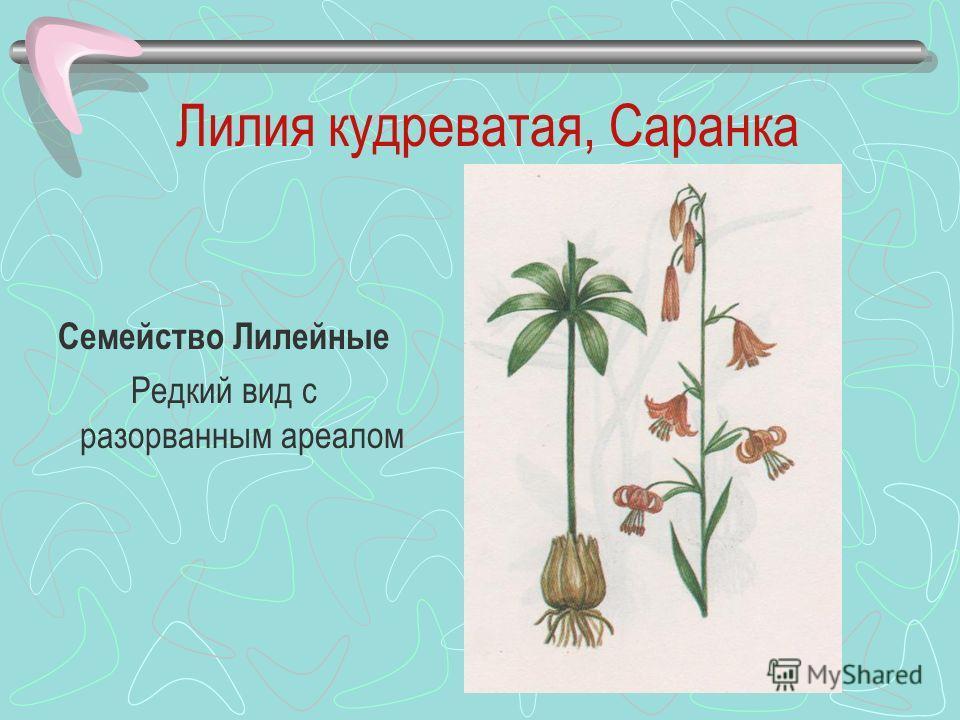 Растения «Красной книги» Среднего Урала произрастающие на ООПТ