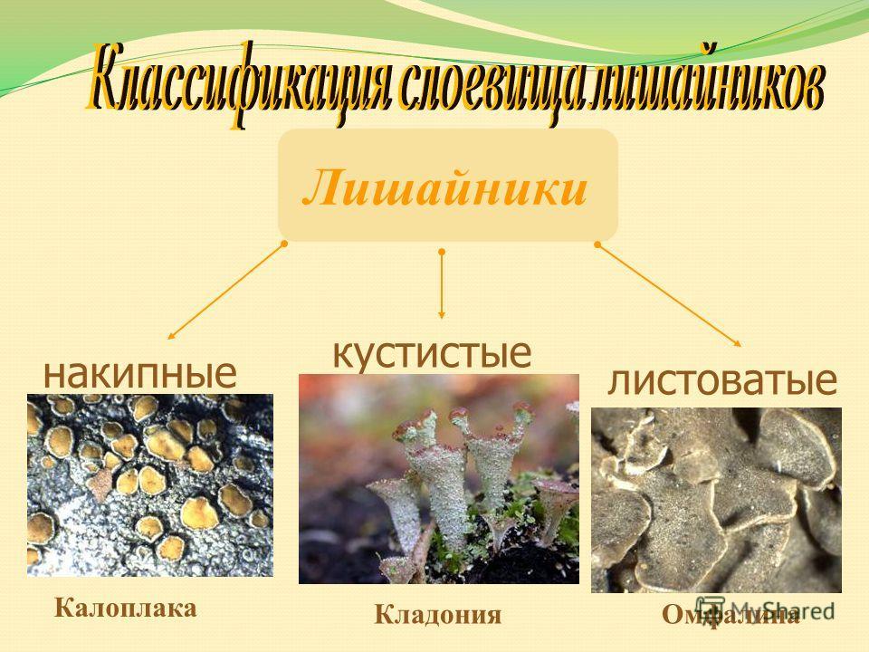 Лишайники накипные листоватые кустистые Калоплака ОмфалинаКладония