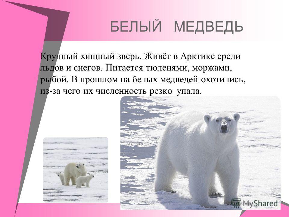 БЕЛЫЙ МЕДВЕДЬ Крупный хищный зверь. Живёт в Арктике среди льдов и снегов. Питается тюленями, моржами, рыбой. В прошлом на белых медведей охотились, из-за чего их численность резко упала.