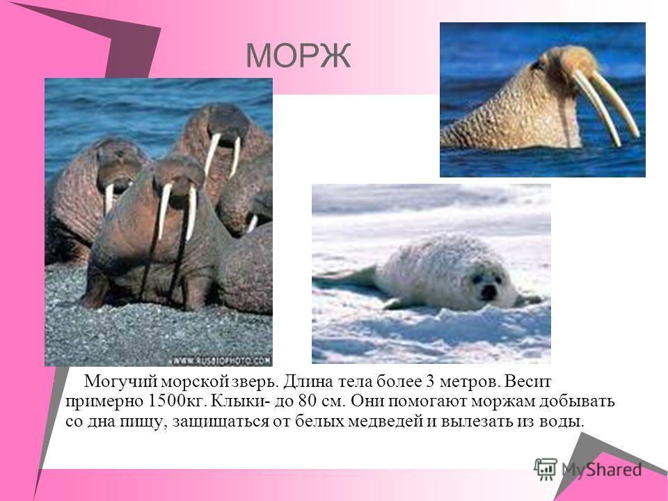 МОРЖ Могучий морской зверь. Длина тела более 3 метров. Весит примерно 1500кг. Клыки- до 80 см. Они помогают моржам добывать со дна пищу, защищаться от белых медведей и вылезать из воды.