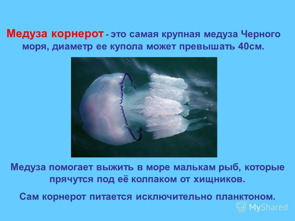 Медуза корнерот - это самая крупная медуза Черного моря, диаметр ее купола может превышать 40см. Медуза помогает выжить в море малькам рыб, которые прячутся под её колпаком от хищников. Сам корнерот питается исключительно планктоном.