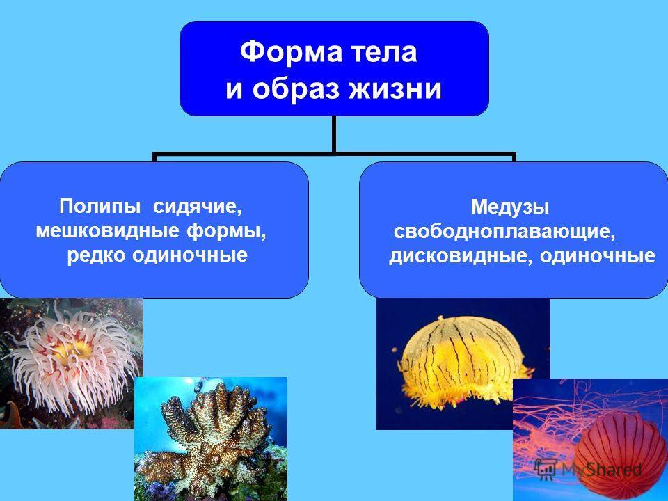 Форма тела и образ жизни Полипы сидячие, мешковидные формы, редко одиночные Медузы свободноплавающие, дисковидные, одиночные