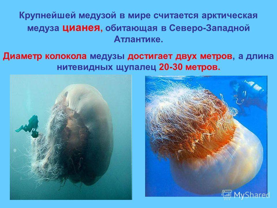 Крупнейшей медузой в мире считается арктическая медуза цианея, обитающая в Северо-Западной Атлантике. Диаметр колокола медузы достигает двух метров, а длина нитевидных щупалец 20-30 метров.