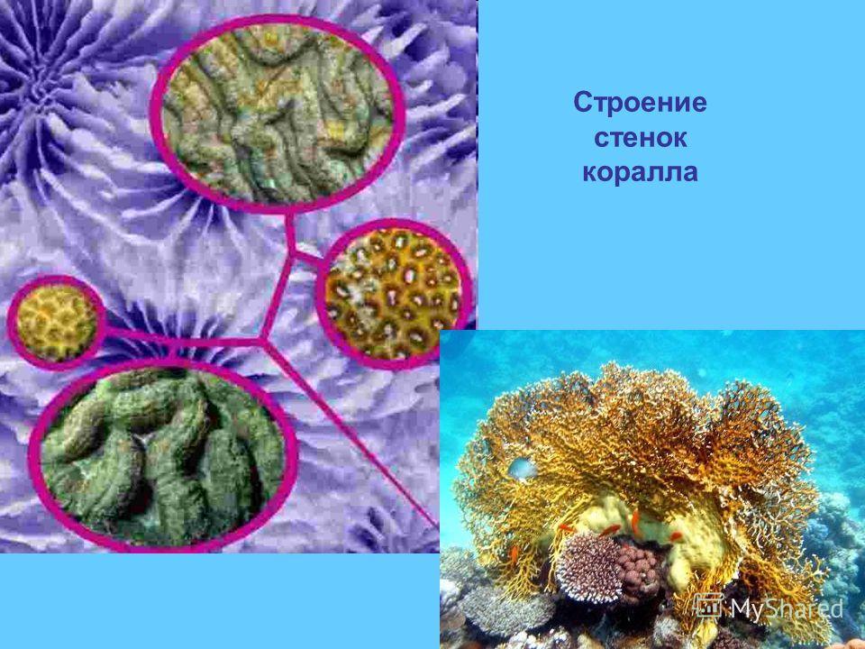 Строение стенок коралла