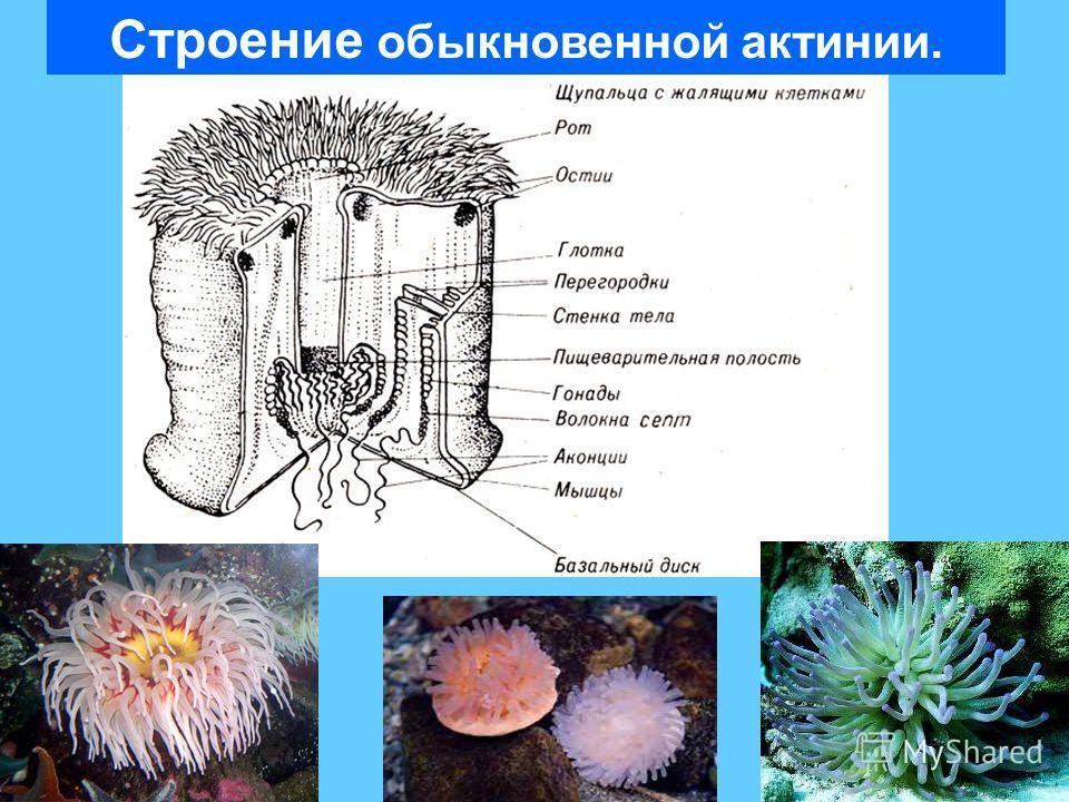 Строение обыкновенной актинии.