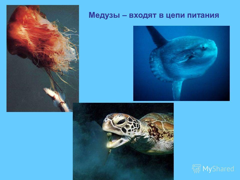 Медузы – входят в цепи питания