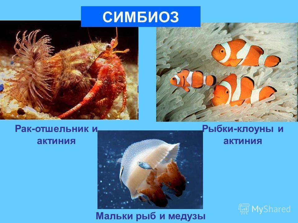 Рак-отшельник и актиния Рыбки-клоуны и актиния СИМБИОЗ Мальки рыб и медузы