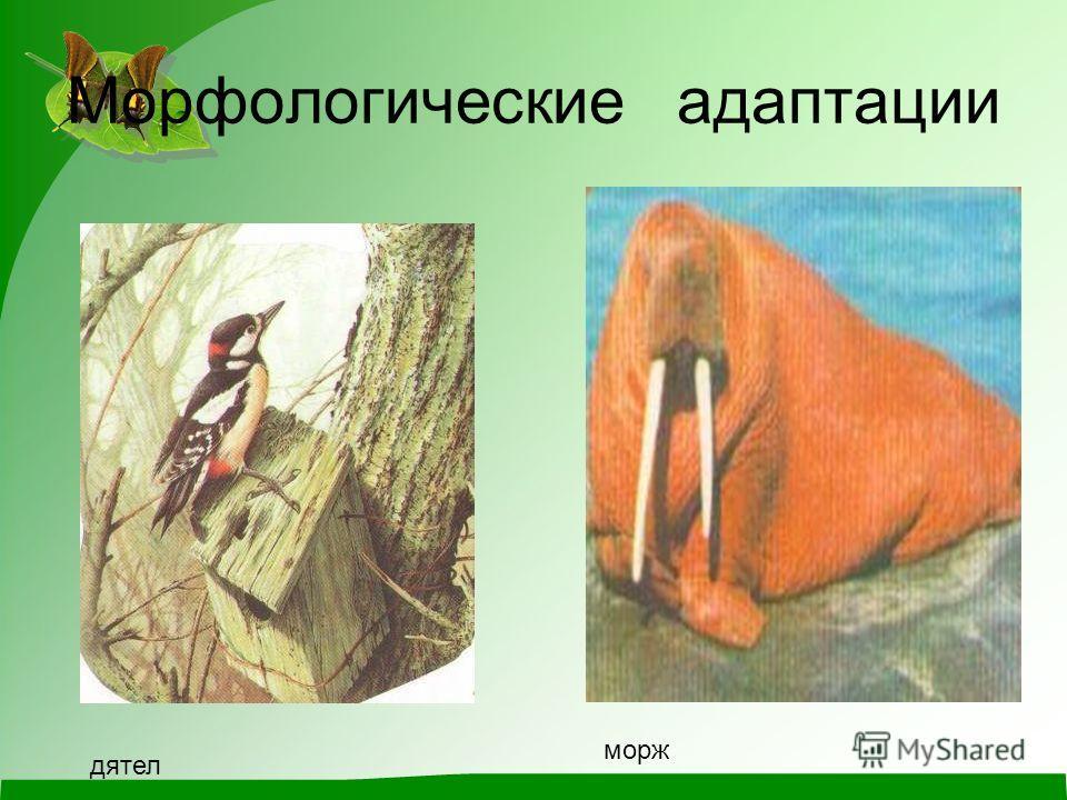 Морфологические адаптации дятел морж