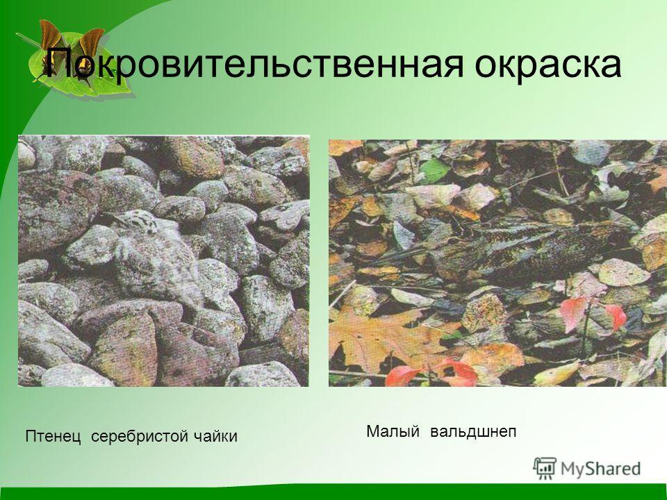 Покровительственная окраска Птенец серебристой чайки Малый вальдшнеп