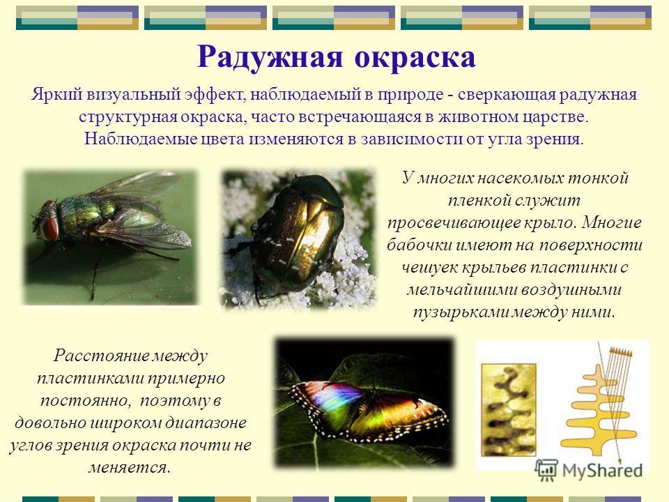Радужная окраска У многих насекомых тонкой пленкой служит просвечивающее крыло. Многие бабочки имеют на поверхности чешуек крыльев пластинки с мельчайшими воздушными пузырьками между ними. Яркий визуальный эффект, наблюдаемый в природе - сверкающая р