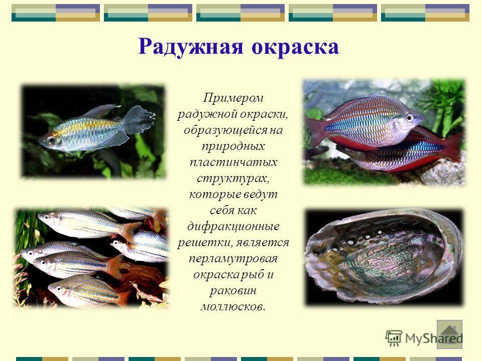 Радужная окраска Примером радужной окраски, образующейся на природных пластинчатых структурах, которые ведут себя как дифракционные решетки, является перламутровая окраска рыб и раковин моллюсков.