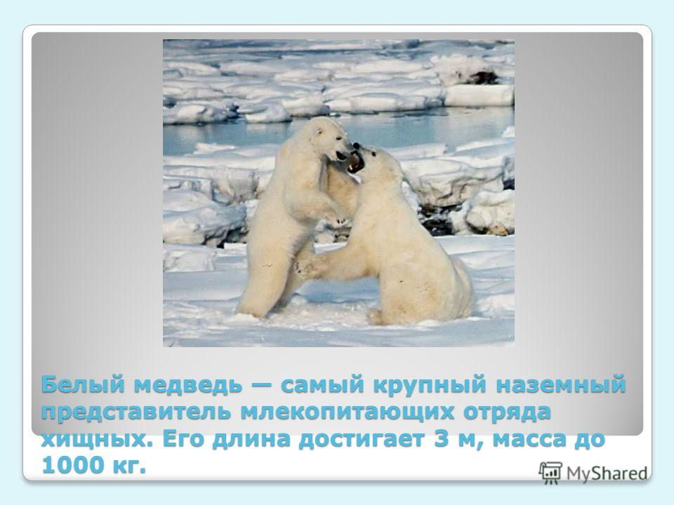 Белый медведь самый крупный наземный представитель млекопитающих отряда хищных. Его длина достигает 3 м, масса до 1000 кг.