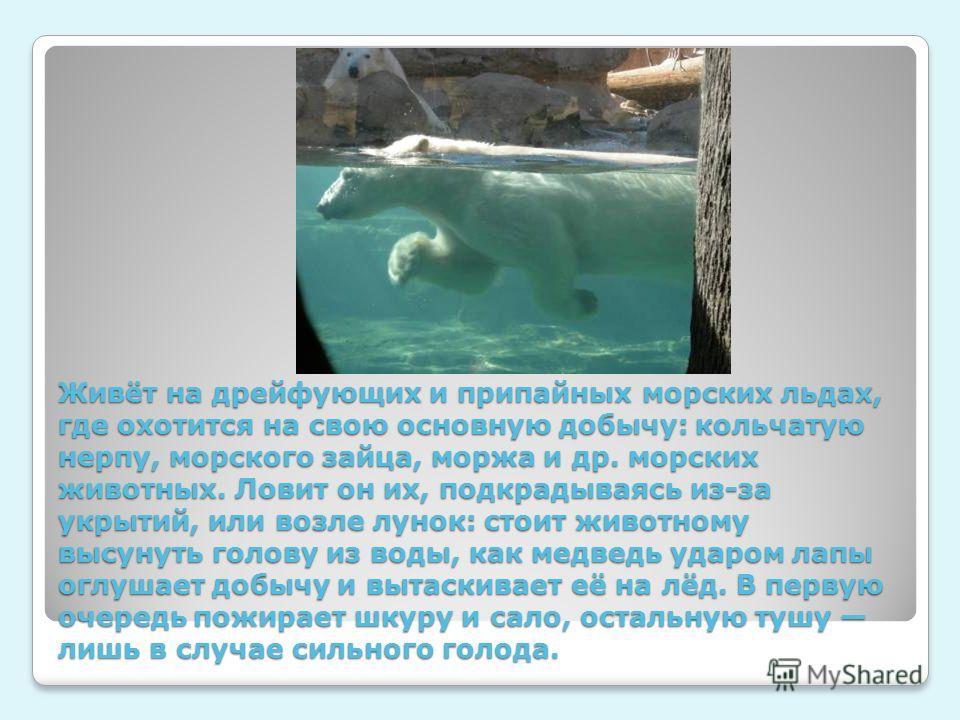 Живёт на дрейфующих и припайных морских льдах, где охотится на свою основную добычу: кольчатую нерпу, морского зайца, моржа и др. морских животных. Ловит он их, подкрадываясь из-за укрытий, или возле лунок: стоит животному высунуть голову из воды, ка
