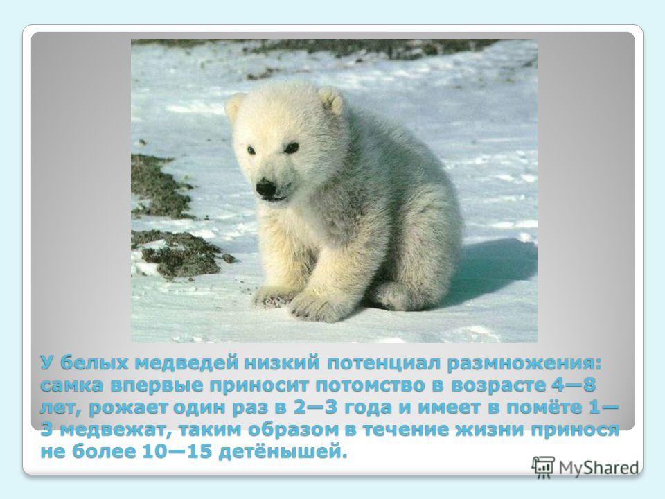 У белых медведей низкий потенциал размножения: самка впервые приносит потомство в возрасте 48 лет, рожает один раз в 23 года и имеет в помёте 1 3 медвежат, таким образом в течение жизни принося не более 1015 детёнышей.