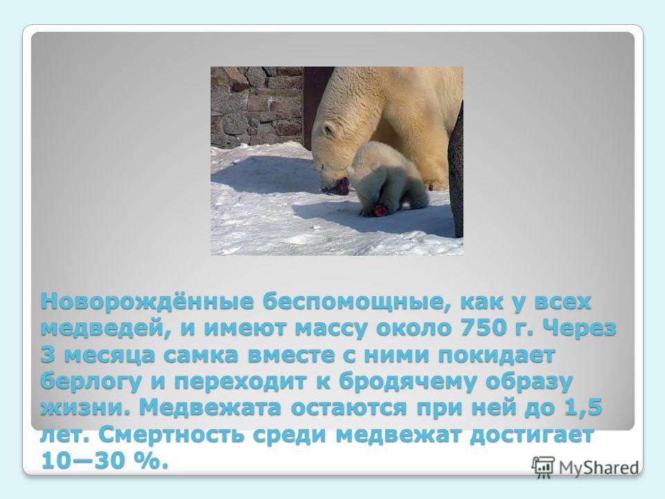 Новорождённые беспомощные, как у всех медведей, и имеют массу около 750 г. Через 3 месяца самка вместе с ними покидает берлогу и переходит к бродячему образу жизни. Медвежата остаются при ней до 1,5 лет. Смертность среди медвежат достигает 1030 %.