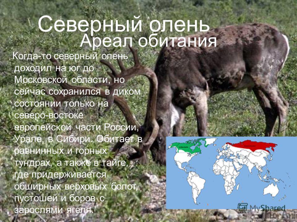 Северный олень Когда-то северный олень доходил на юг до Московской области, но сейчас сохранился в диком состоянии только на северо-востоке европейской части России, Урале, в Сибири. Обитает в равнинных и горных тундрах, а также в тайге, где придержи