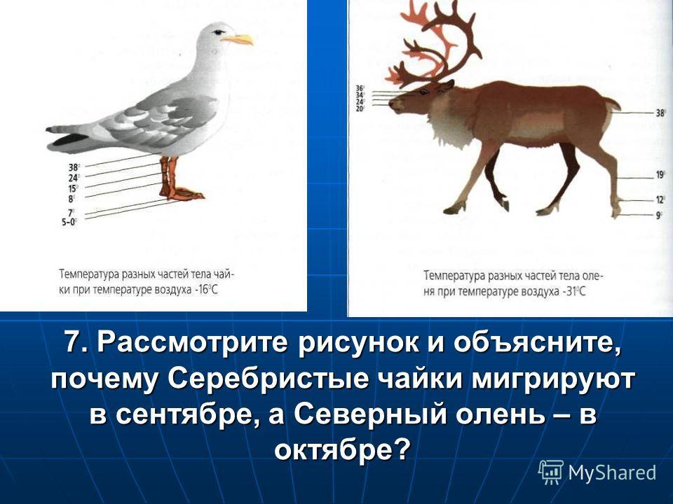 7. Рассмотрите рисунок и объясните, почему Серебристые чайки мигрируют в сентябре, а Северный олень – в октябре?