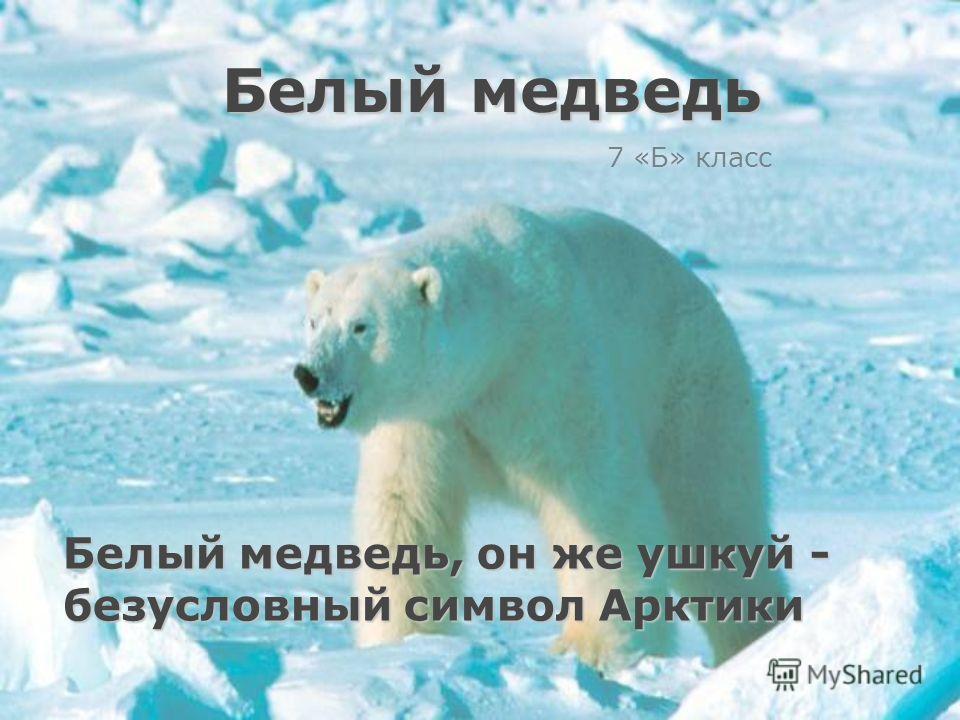 Белый медведь, он же ушкуй - безусловный символ Арктики 7 «Б» класс Белый медведь