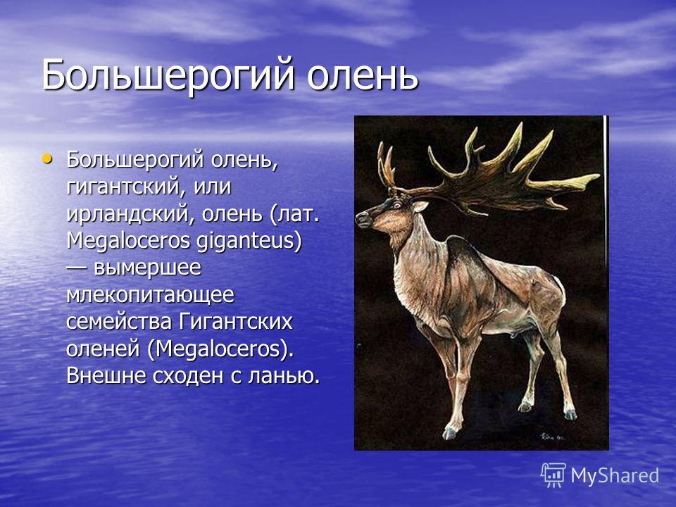 Большерогий олень Большерогий олень, гигантский, или ирландский, олень (лат. Megaloceros giganteus) вымершее млекопитающее семейства Гигантских оленей (Megaloceros). Внешне сходен с ланью. Большерогий олень, гигантский, или ирландский, олень (лат. Me