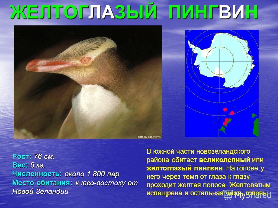 ЖЕЛТОГЛАЗЫЙ ПИНГВИН Рост: 76 см. Вес: 6 кг. Численность: около 1 800 пар Место обитания: к юго-востоку от Новой Зеландии В южной части новозеландского района обитает великолепный или желтоглазый пингвин. На голове у него через темя от глаза к глазу п