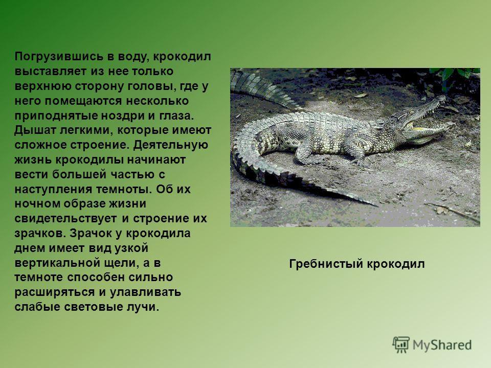 Погрузившись в воду, крокодил выставляет из нее только верхнюю сторону головы, где у него помещаются несколько приподнятые ноздри и глаза. Дышат легкими, которые имеют сложное строение. Деятельную жизнь крокодилы начинают вести большей частью с насту