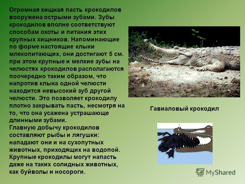 Огромная хищная пасть крокодилов вооружена острыми зубами. Зубы крокодилов вполне соответствуют способам охоты и питания этих крупных хищников. Напоминающие по форме настоящие клыки млекопитающих, они достигают 5 см. при этом крупные и мелкие зубы на