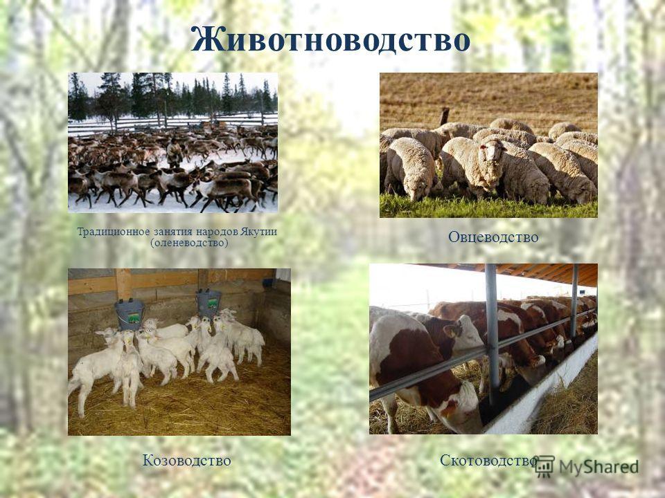 Животноводство Традиционное занятия народов Якутии (оленеводство) Овцеводство КозоводствоСкотоводство