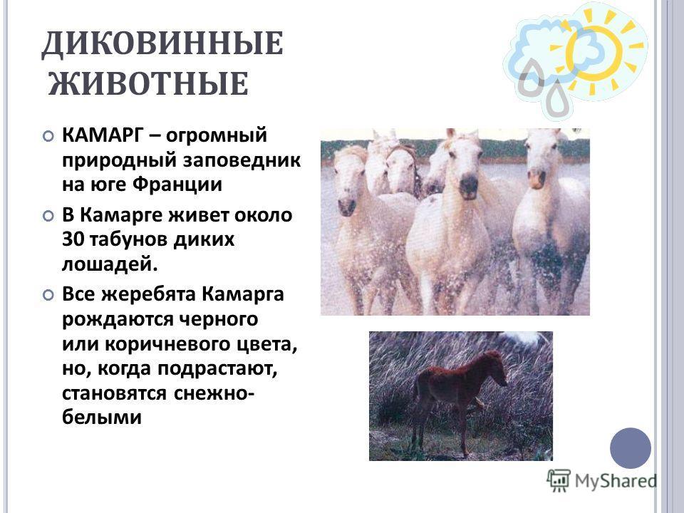 ДИКОВИННЫЕ ЖИВОТНЫЕ КАМАРГ – огромный природный заповедник на юге Франции В Камарге живет около 30 табунов диких лошадей. Все жеребята Камарга рождаются черного или коричневого цвета, но, когда подрастают, становятся снежно - белыми