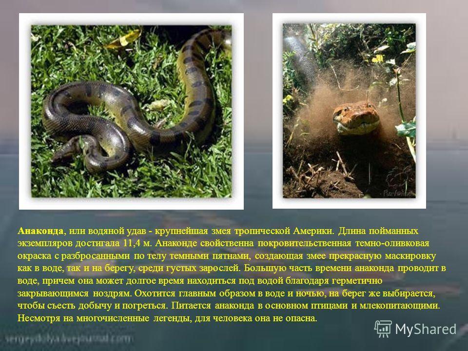 Анаконда, или водяной удав - крупнейшая змея тропической Америки. Длина пойманных экземпляров достигала 11,4 м. Анаконде свойственна покровительственная темно-оливковая окраска с разбросанными по телу темными пятнами, создающая змее прекрасную маскир
