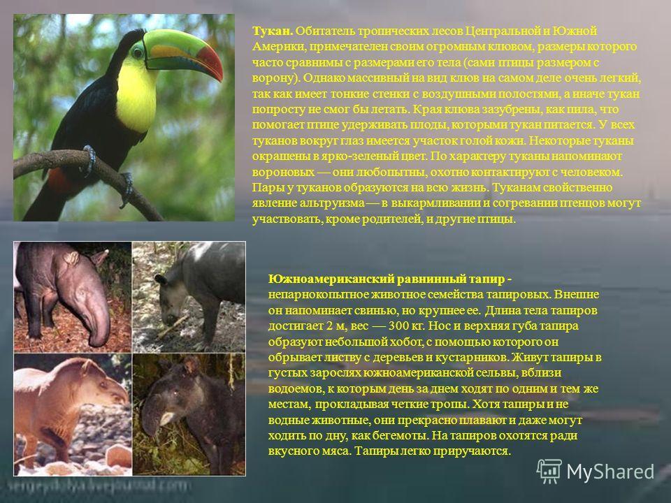 Тукан. Обитатель тропических лесов Центральной и Южной Америки, примечателен своим огромным клювом, размеры которого часто сравнимы с размерами его тела (сами птицы размером с ворону). Однако массивный на вид клюв на самом деле очень легкий, так как