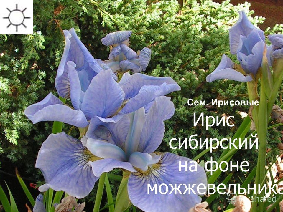 Ирис сибирский на фоне можжевельника Сроки цветения: июнь-июль Сем. Ирисовые