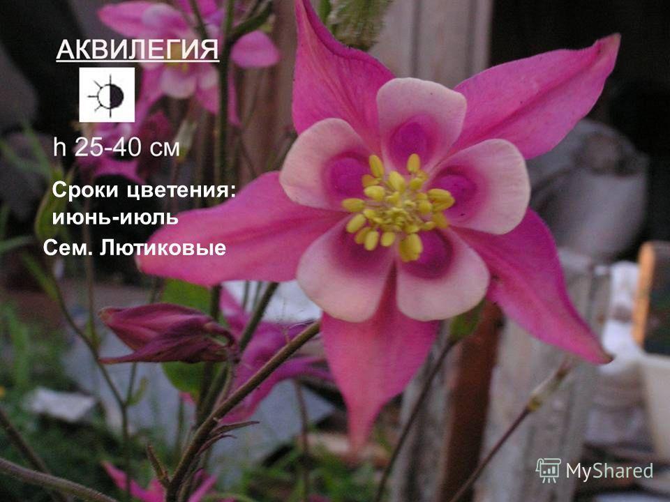 Сроки цветения: июнь-июль Сем. Лютиковые