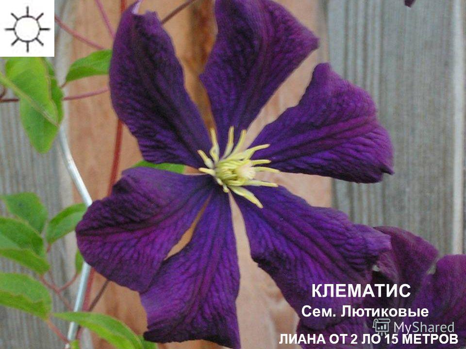 Сроки цветения: июнь-июль КЛЕМАТИС ЛИАНА ОТ 2 ЛО 15 МЕТРОВ Сем. Лютиковые